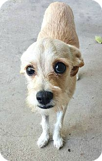 Terrier (Unknown Type, Small) Mix Dog for adoption in Boulder, Colorado - Layla
