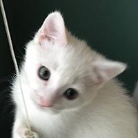 Adopt A Pet :: Snow White - Garner, NC