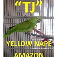 Adopt A Pet :: T J The Yellow Nape Amazon - Vancouver, WA