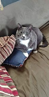 Domestic Shorthair Cat for adoption in Kohler, Wisconsin - Cloudy