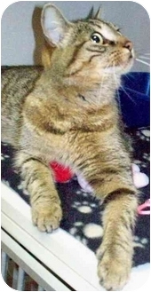 Domestic Shorthair Cat for adoption in Cold Lake, Alberta - Pigeon