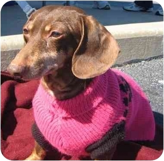 Dachshund Dog for adoption in Portsmouth, Rhode Island - Cocoa