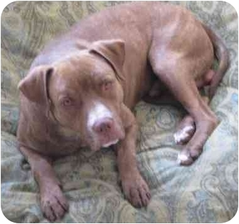 American Staffordshire Terrier/American Pit Bull Terrier Mix Dog for adoption in Gilbert, Arizona - Lucky