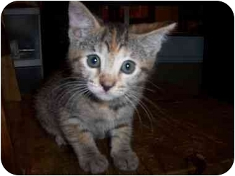 Domestic Shorthair Kitten for adoption in Irvine, California - May