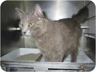 Domestic Mediumhair Cat for adoption in El Cajon, California - Vinnie