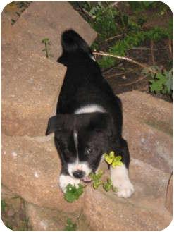 Akita/American Pit Bull Terrier Mix Puppy for adoption in Flint, Michigan - Elsie