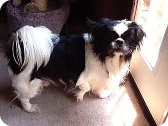 Japanese Chin/Shih Tzu Mix Dog for adoption in Warren, Michigan - Shatzi