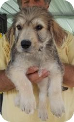 Dachshund/Terrier (Unknown Type, Small) Mix Puppy for adoption in Gaffney, South Carolina - Quinton