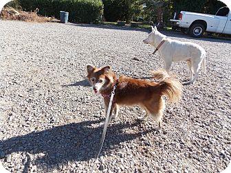 Australian Shepherd/Sheltie, Shetland Sheepdog Mix Dog for adoption in Hesperus, Colorado - Allie