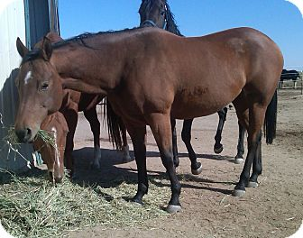 Quarterhorse Mix for adoption in Ocala, Florida - Adara