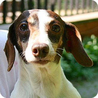 Dachshund Dog for adoption in Newtown, Connecticut - Land Rover Rollo