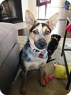 Australian Cattle Dog/Blue Heeler Mix Puppy for adoption in Snohomish, Washington - Pepper