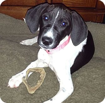 Pointer Mix Puppy for adoption in berwick, Maine - Fiddle Faddle