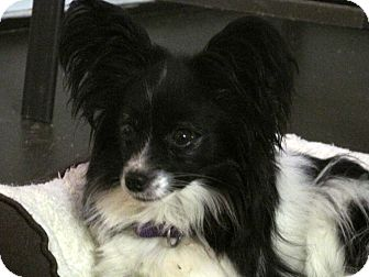 Papillon Dog for adoption in Marseilles, Illinois - Kermit
