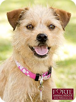 Terrier (Unknown Type, Small) Mix Dog for adoption in Marina del Rey, California - Tika