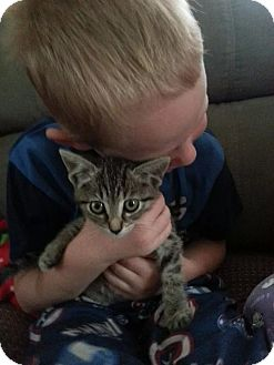 American Shorthair Kitten for adoption in Mentor, Ohio - Snuggles - 1.8 pounds 8 weeks!