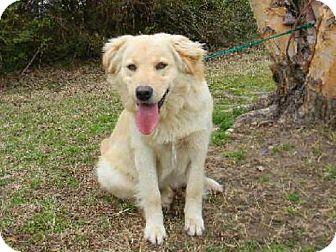 Golden Retriever/Chow Chow Mix Dog for adoption in Tyner, North Carolina - Tucker