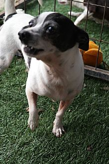 Chihuahua Mix Dog for adoption in San Pablo, California - SCOOTER