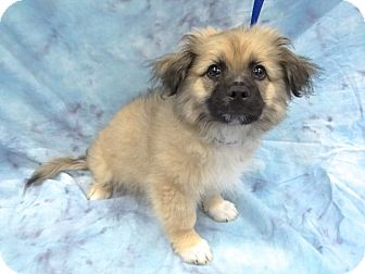 Terrier (Unknown Type, Small) Mix Puppy for adoption in Hawthorne, California - Tanner
