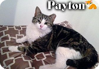 Domestic Shorthair Cat for adoption in River Edge, New Jersey - Payton
