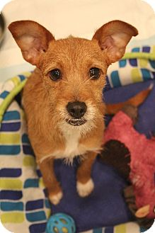Cairn Terrier/Fox Terrier (Wirehaired) Mix Dog for adoption in Allentown, Pennsylvania - Kai