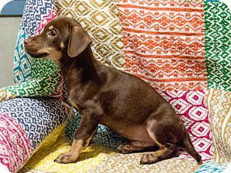 Dachshund Mix Puppy for adoption in Olympia, Washington - Cheney