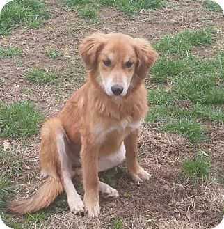 Golden Retriever Mix Dog for adoption in New Oxford, Pennsylvania - Goldie