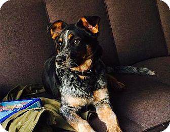 Australian Cattle Dog/Labrador Retriever Mix Puppy for adoption in Manhattan, New York - Jake