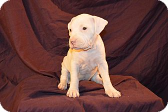 American Staffordshire Terrier Mix Puppy for adoption in Garden City, Michigan - Layla