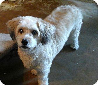Cockapoo Mix Dog for adoption in Phoenix, Arizona - Shiloh (male)
