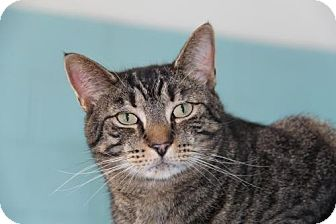 Domestic Shorthair Cat for adoption in Forked River, New Jersey - Dutch