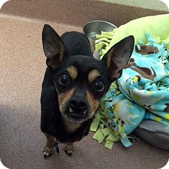 Chihuahua Mix Dog for adoption in Denver, Colorado - Dave