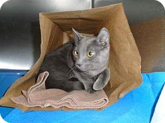 Russian Blue Cat for adoption in THORNHILL, Ontario - Jimbo