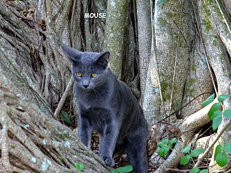 Domestic Shorthair Cat for adoption in Naples, Florida - Mouse