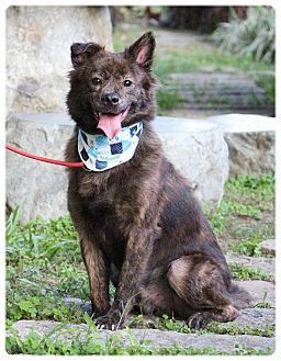 Collie/Keeshond Mix Dog for adoption in San Mateo, California - Baker