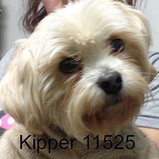 Schnauzer (Miniature)/Yorkie, Yorkshire Terrier Mix Dog for adoption in Greencastle, North Carolina - Kipper