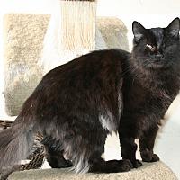 Domestic Longhair Kitten for adoption in Santa Rosa, California - Vivaldi