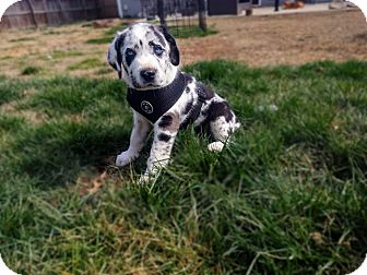 Great Pyrenees/Catahoula Leopard Dog Mix Puppy for adoption in Bowie, Maryland - Cajun