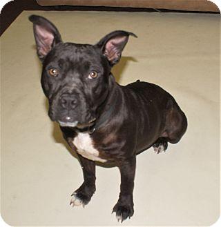 Pit Bull Terrier Mix Dog for adoption in Savannah, Georgia - April