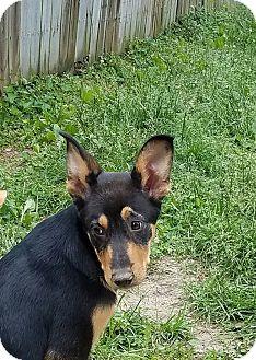 German Shepherd Dog/Great Pyrenees Mix Puppy for adoption in waterbury, Connecticut - Klutch