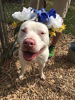 Pit Bull Terrier Dog for adoption in Cuyahoga Falls, Ohio - MCDW: Amelia aka Millie