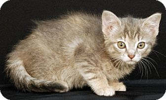 Domestic Shorthair Kitten for adoption in Newland, North Carolina - Comet