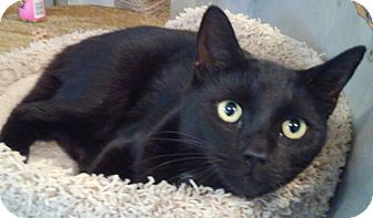 Domestic Shorthair Cat for adoption in Ellington, Connecticut - Curly