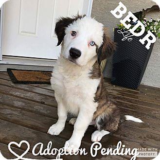 Border Collie Mix Puppy for adoption in Regina, Saskatchewan - Howard