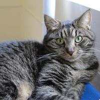 Domestic Shorthair/Domestic Shorthair Mix Cat for adoption in Brunswick, Georgia - Wicket