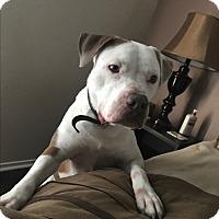 Adopt A Pet :: Louie - Las Vegas, NV