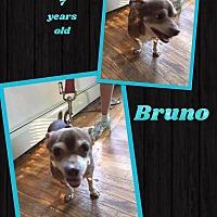 Adopt A Pet :: Bruno - Hamden, CT