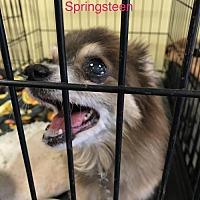 Adopt A Pet :: Springsteen - Chico, CA