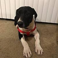 Adopt A Pet :: Trixie - Evergreen, CO