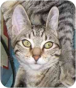 Domestic Shorthair Cat for adoption in Portland, Oregon - Beezus (video)